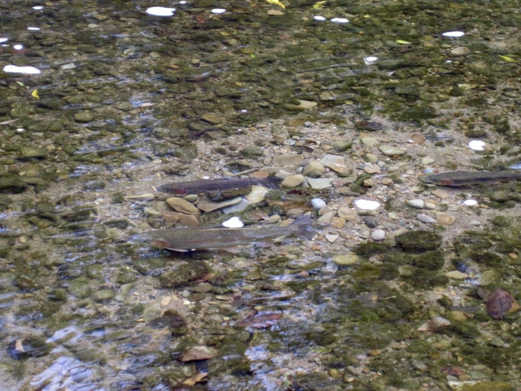 Rainbow trout form a spawning redd in Apple Creek. The female top left is pursued by two males. Note the trout have cleared out the algae and sediment from the spawning gravel.
